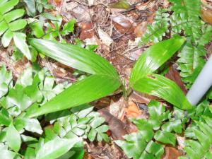 Areca hutchinsoniana Nov 2011 Puerto Rico Cindy April 2012 042.jpg